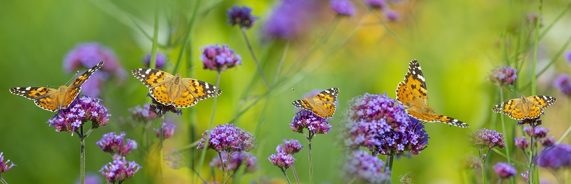 Group of black and orange butterflies drinking nectar from purple flowers