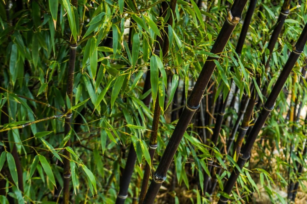 Black bamboo forest in Kyoto, Japan