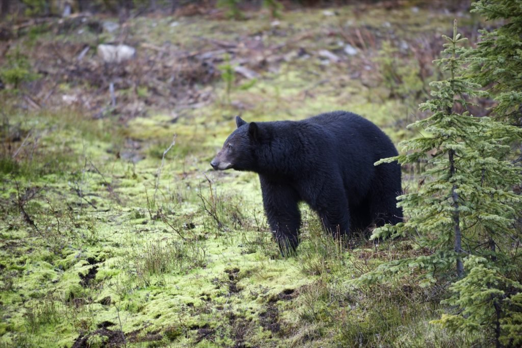 American black bear also known as Ursus Americanus looking for food in the mountains of Canada