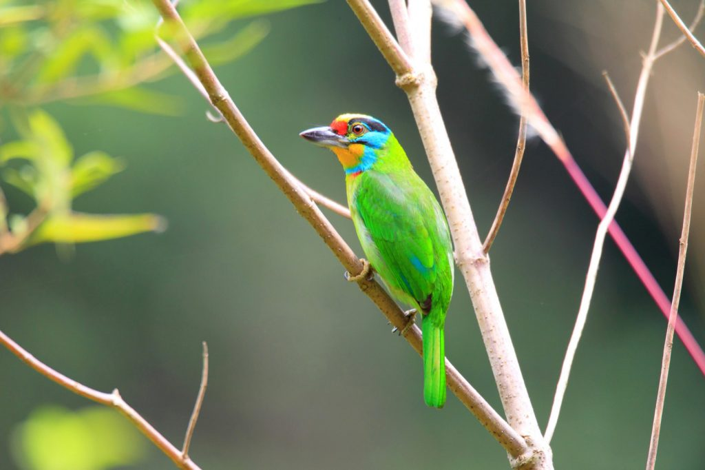 Black-browed barbet aka Psilopogon Oorti perched in a tree