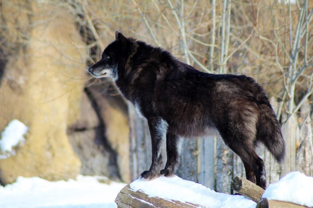 Black Canis Lupus wolf standing in winter snow