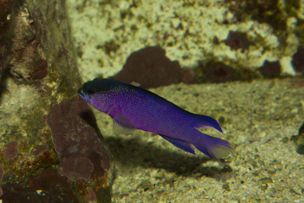 Purple black cap basslet in an aquarium