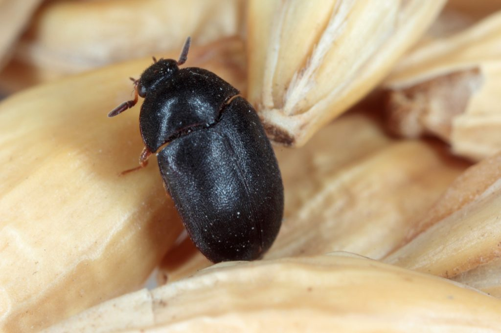 Black carpet beetle aka Attagenus Unicolor closeup