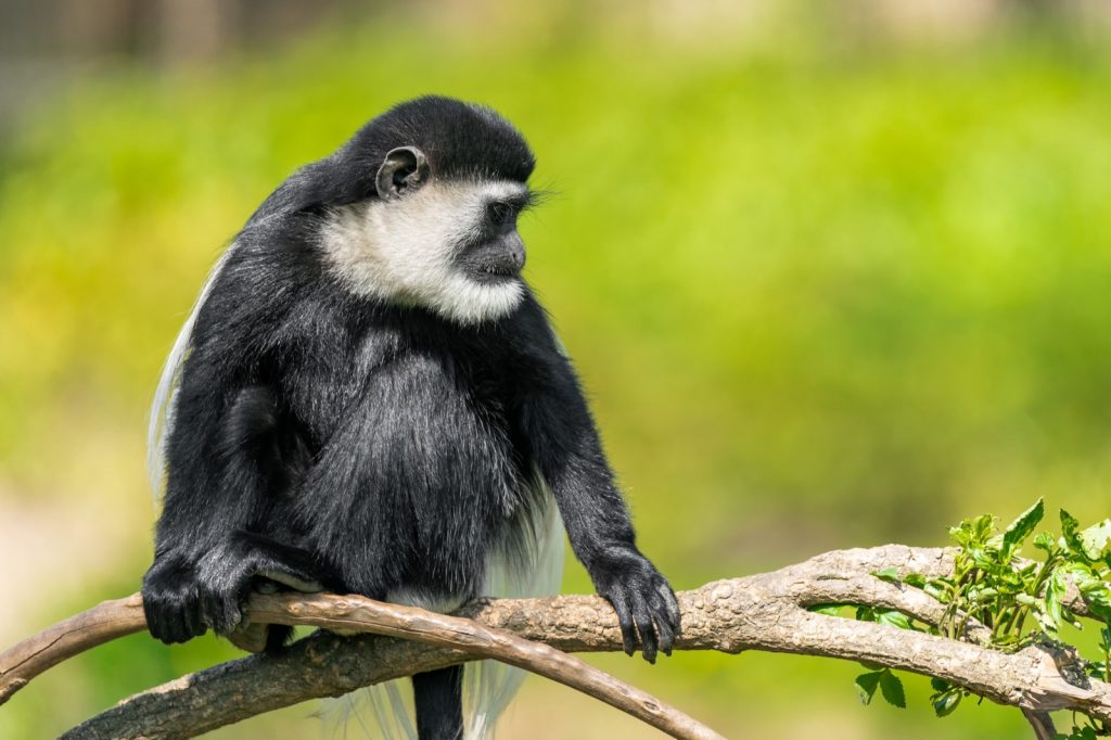 Black colobus monkey relaxing in a tree