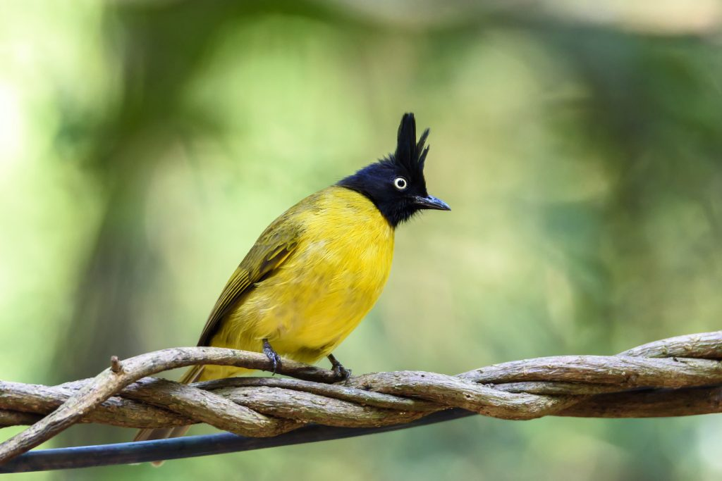 Black-crested bulbul perching on tree branch