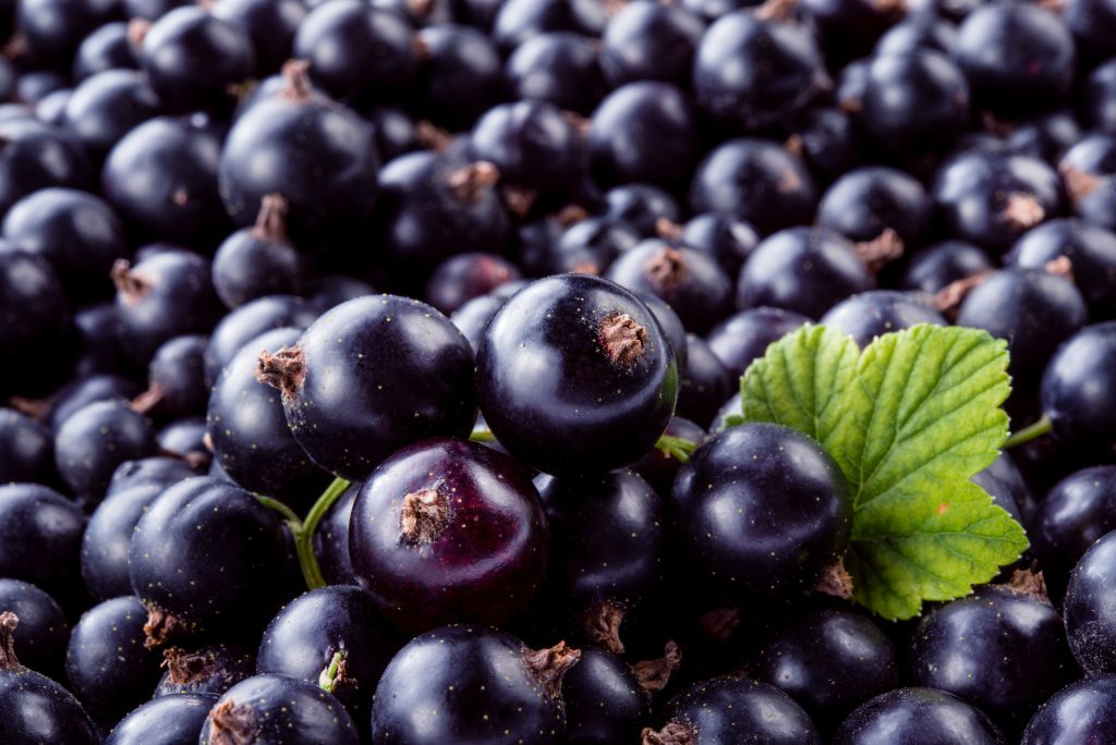 Closeup of a big pile of black currants with a single green black currant leaf that lies between them