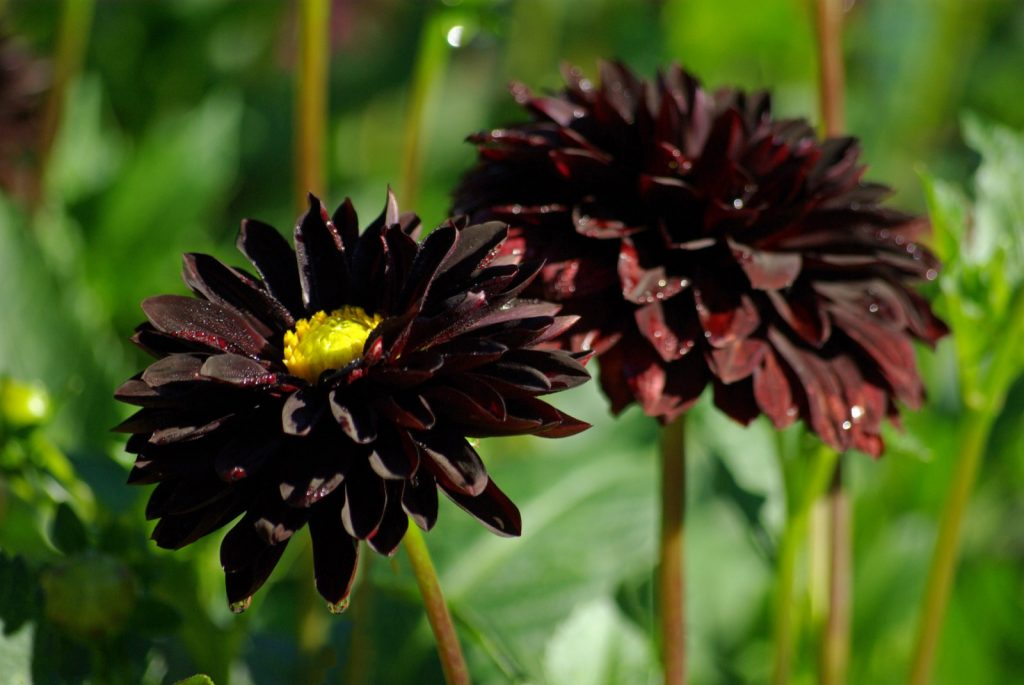 Black dahlias with yellow centers and raindrops in summer