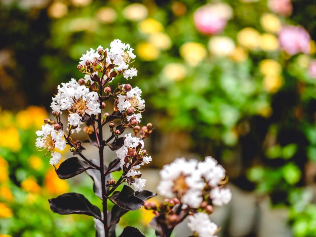Black diamond pure white crape myrtle tree in a garden