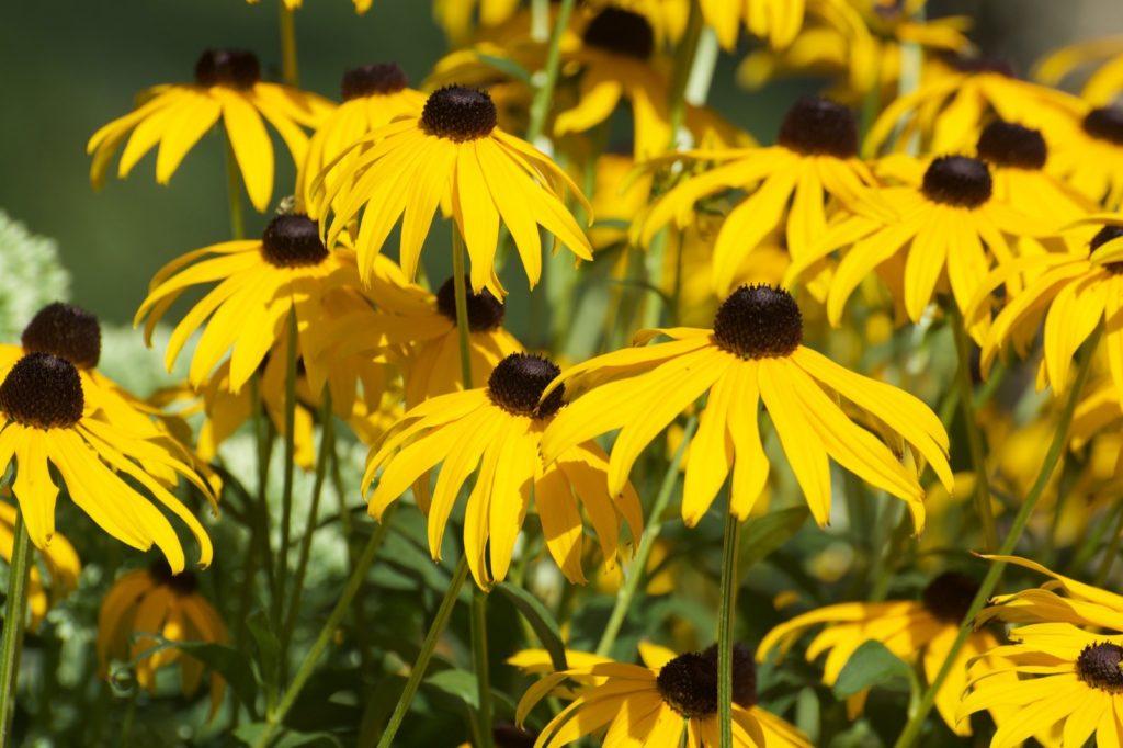 Yellow black-eyed susan flowers blooming in garden