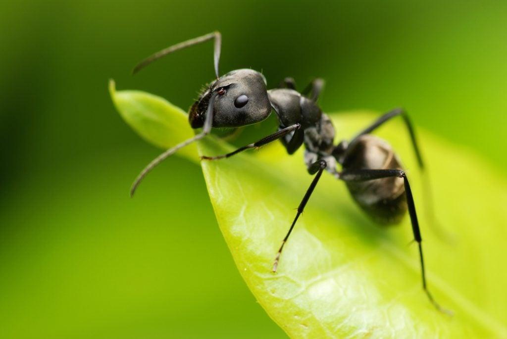 Black garden ant on a green leaf