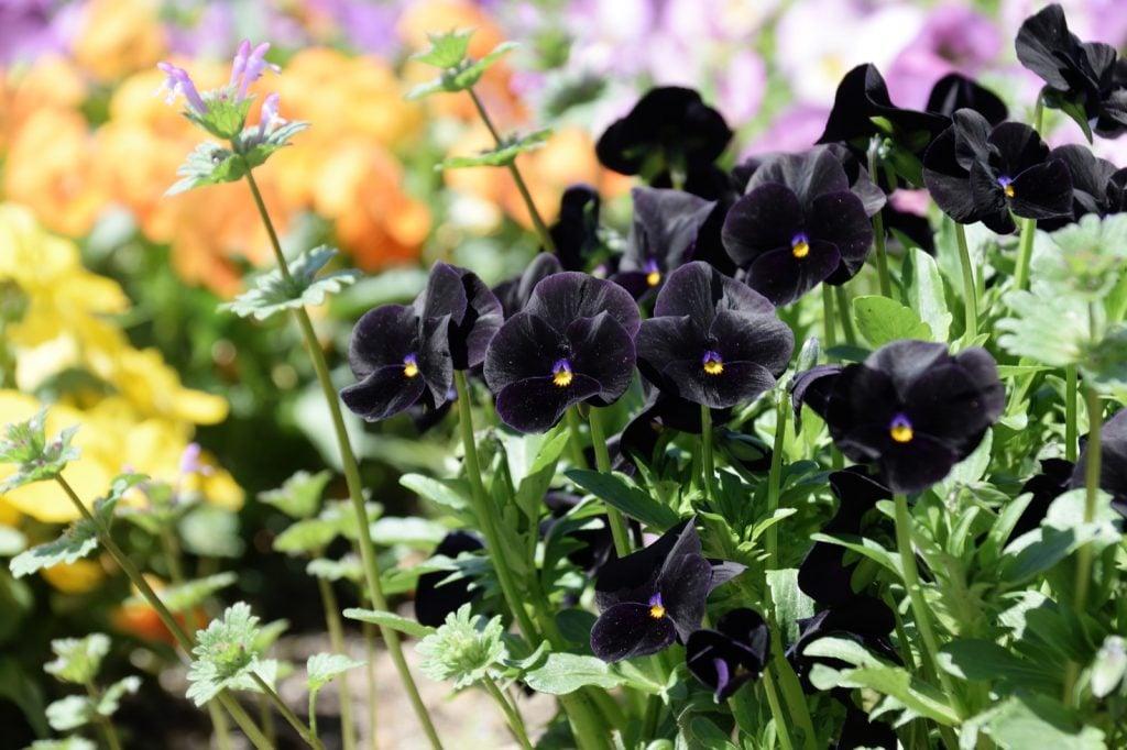 Black pansies in colorful summer garden