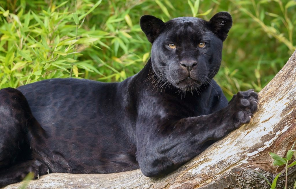 Black panther lying on a tree