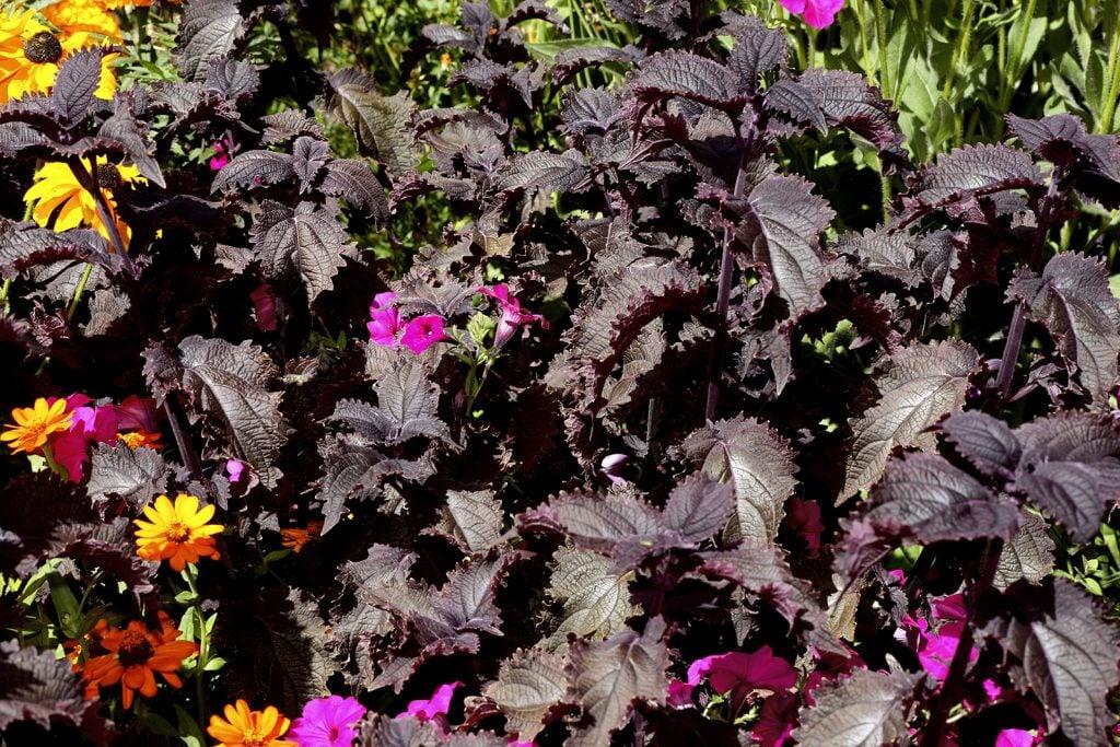 Black prince coleus plants aka Solenostemon Scutellarioides