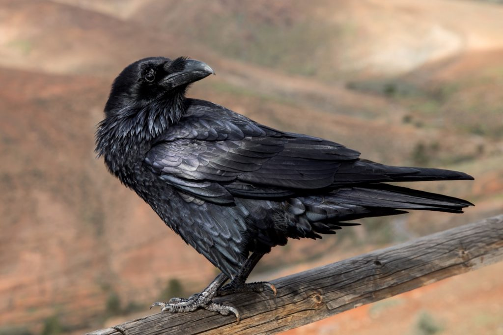 Black raven on a wooden fence