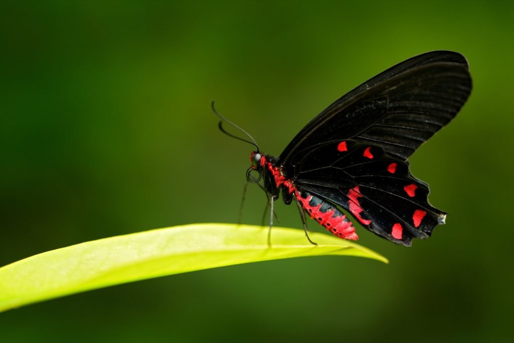 Black and red Atrophaneura Semperi also known as the vampire butterfly