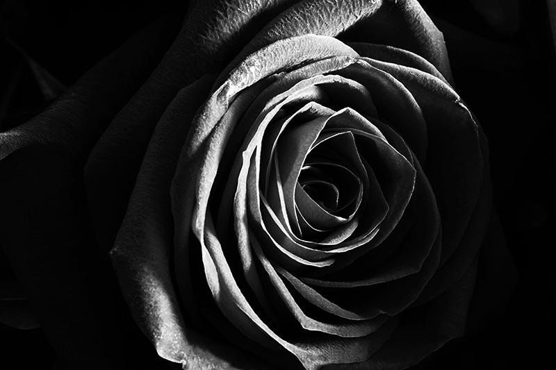 Black Rose Close Up Macro