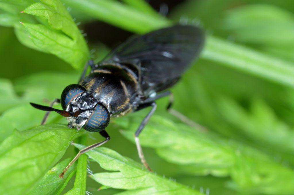Black soldier fly aka Hermetia Illucens closeup