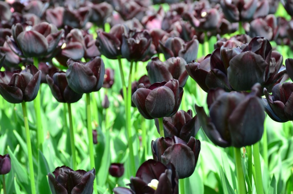 Black tulips also called Queen of the Night in a garden