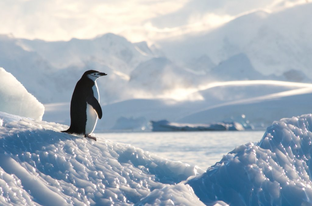 Black and white chinstrap penguin on the ice in Antarctica