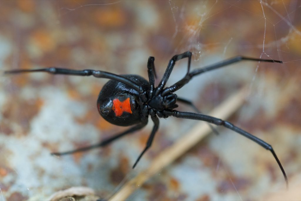 Black widow spider species Latrodectus Mactans with red markings on the underside