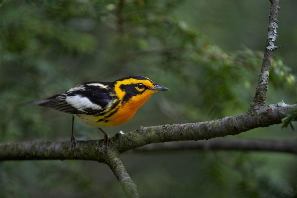 Black Blackburnian Warbler perched on a Hemlock tree branch