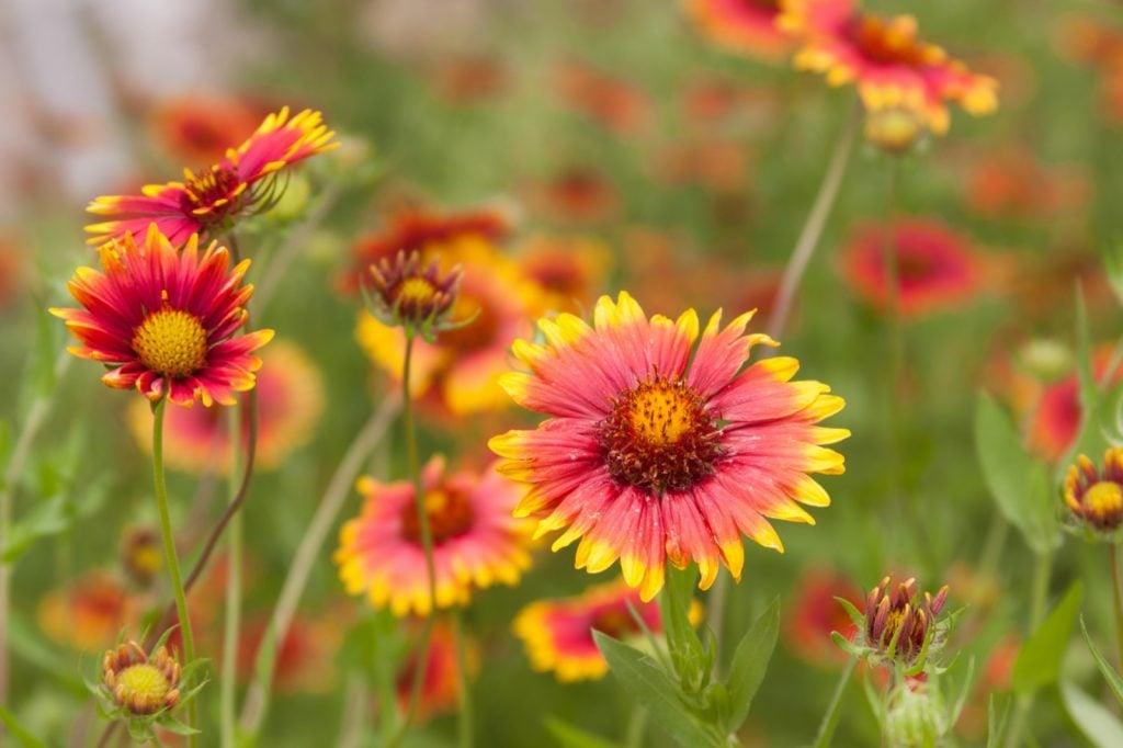 Blanket flowers or Gaillardia growing on a meadow