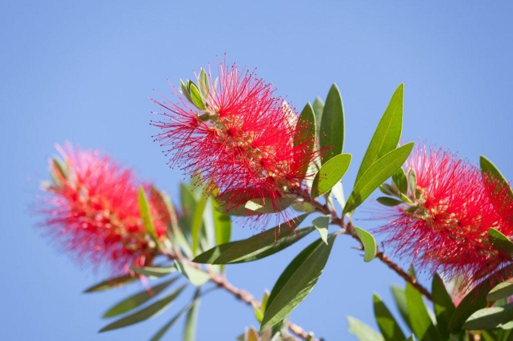 Blooming bottlebrush bush aka Callistemon with bright red flowers