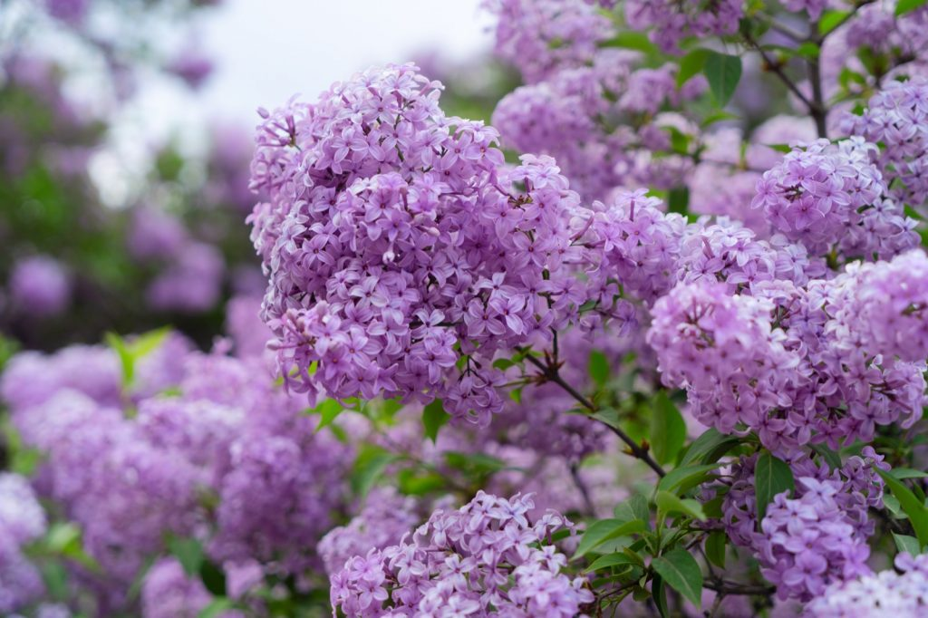 Blooming purple lilac flowers in nature