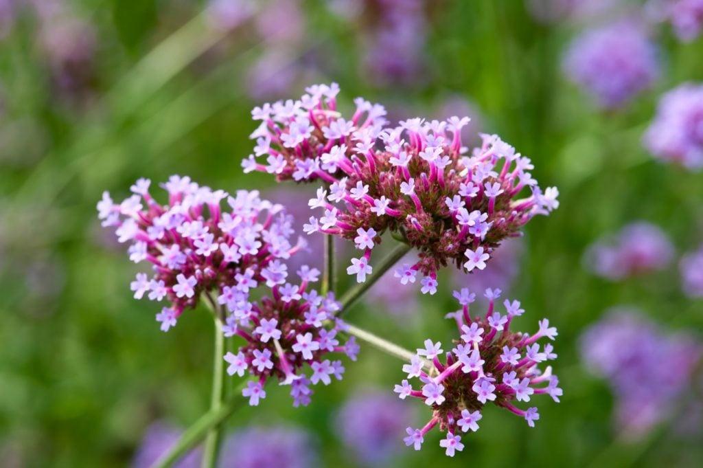 Blooming purple verbena bonariensis flowers in focus