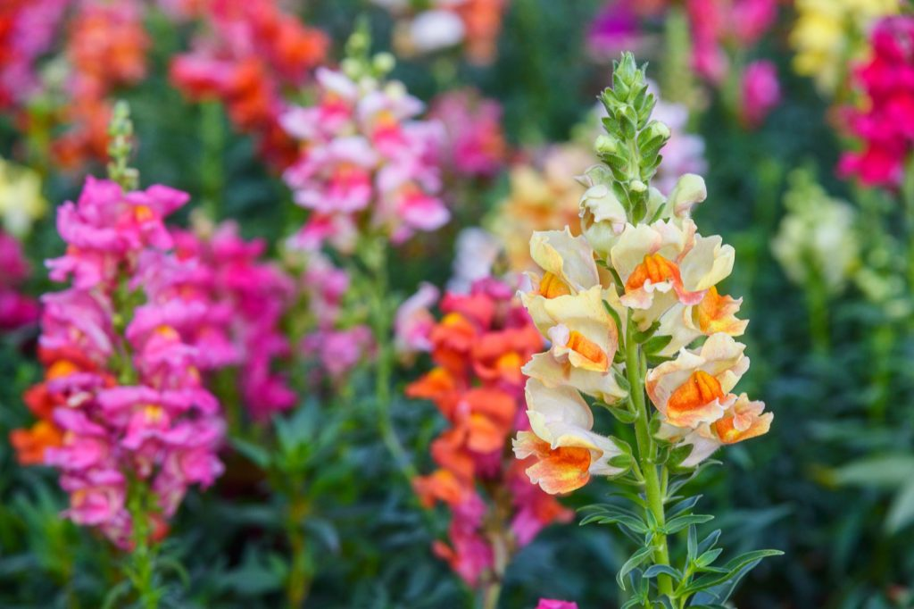Blooming colorful snapdragon flowers aka Antirrhinum Majus