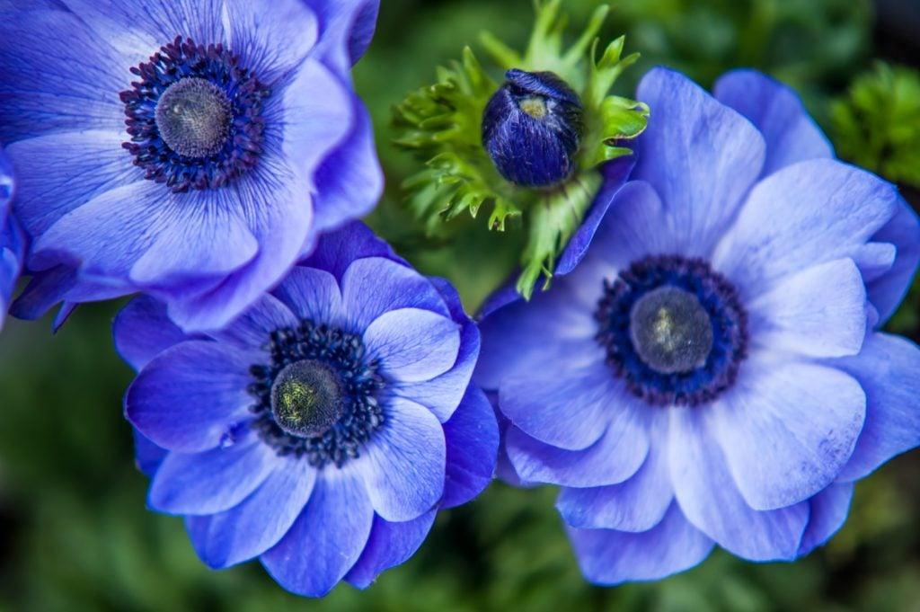 Four blue anemone flowers close up