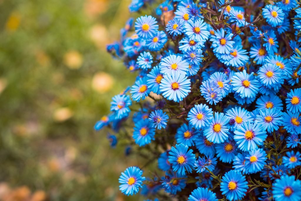 Blue Aster flowers bloom in a natural garden