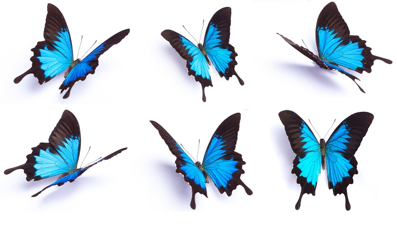 Blue butterflies in different angles