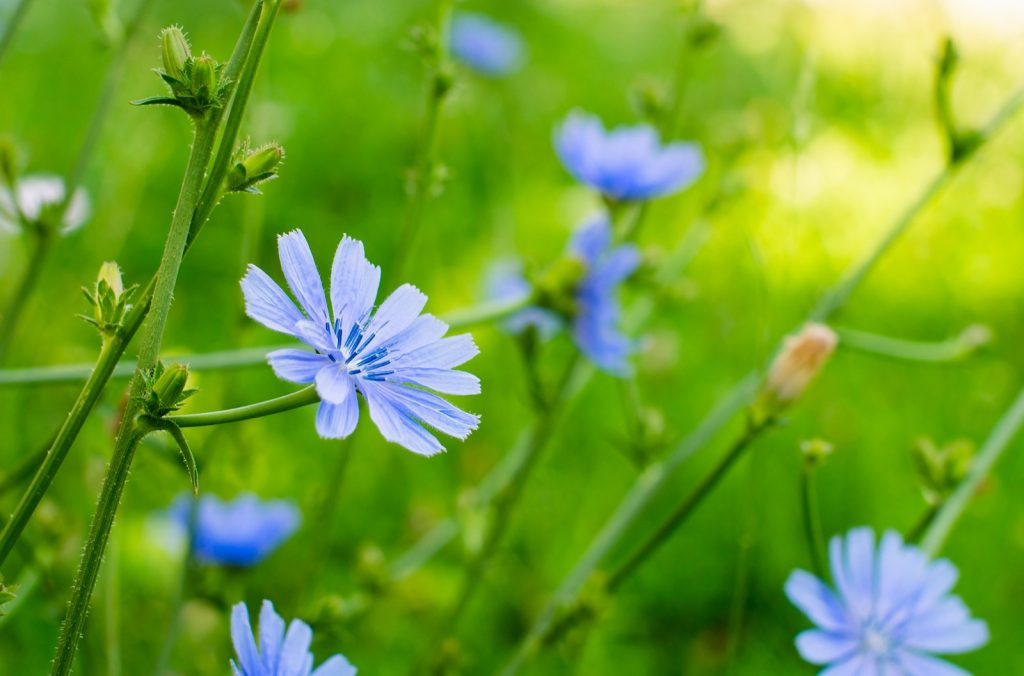 Blue Chicory or Cichorium Intybus flowers in a field