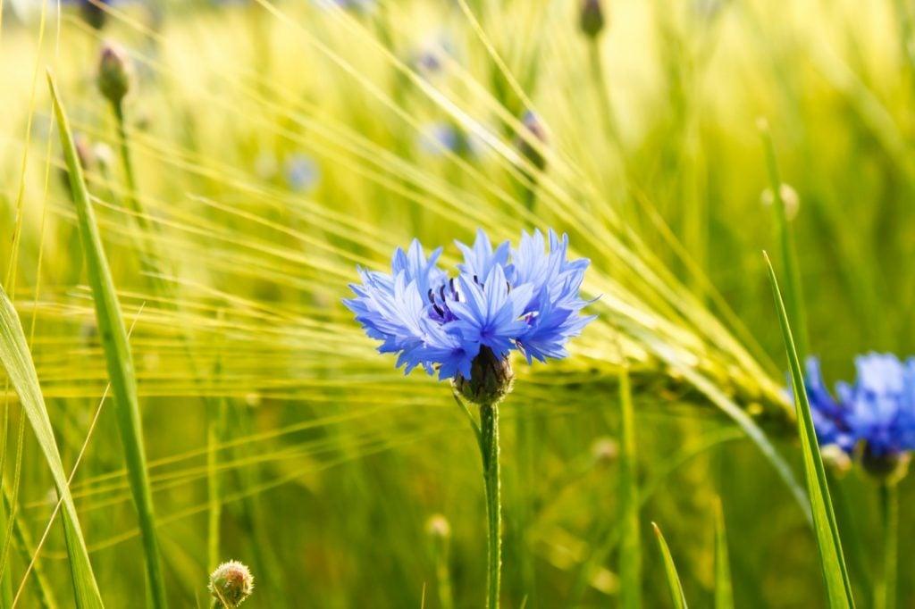 Blue cornflowers in a cornfield