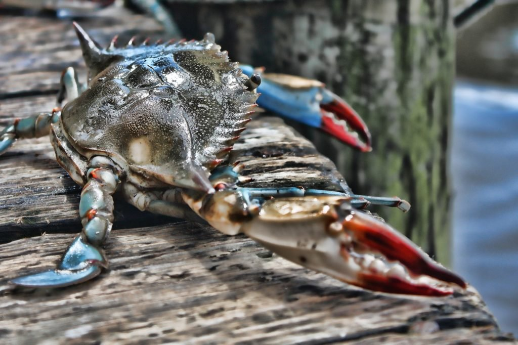 Blue crab Callinectes Sapidus at dock looking out at the ocean