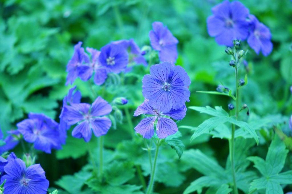 Blue Cranesbill Geraniums in the wild