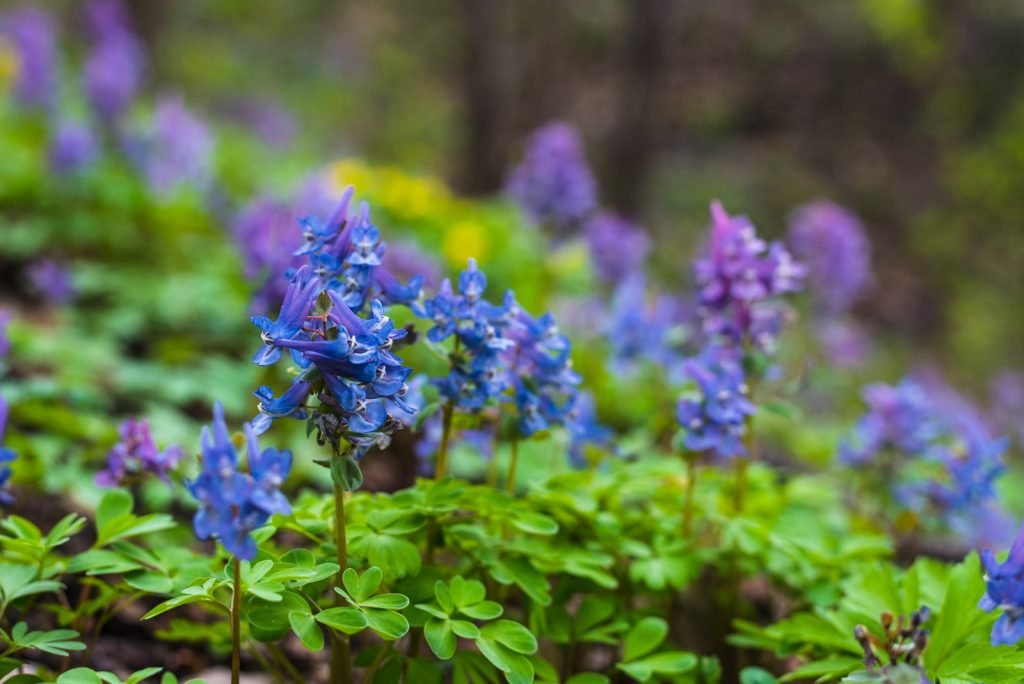 Blue poisonous Aconite or Monkshood flowers in the forest