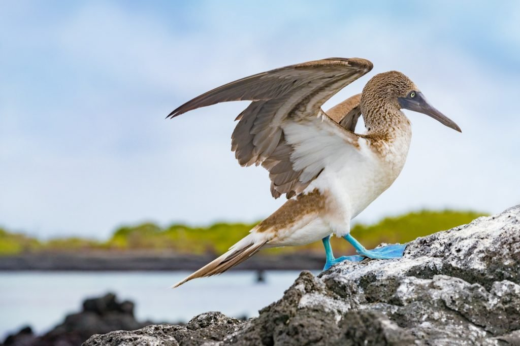 Blue-footed booby bird from Galapagos Islands in South America