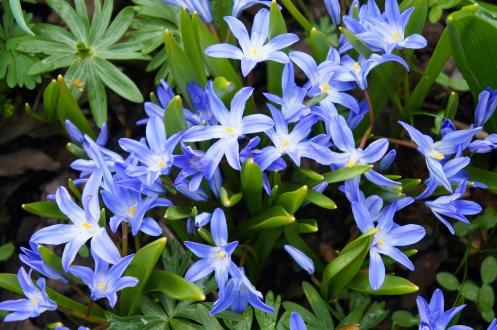 Blue Giant or Glory of the Snow spring flowers