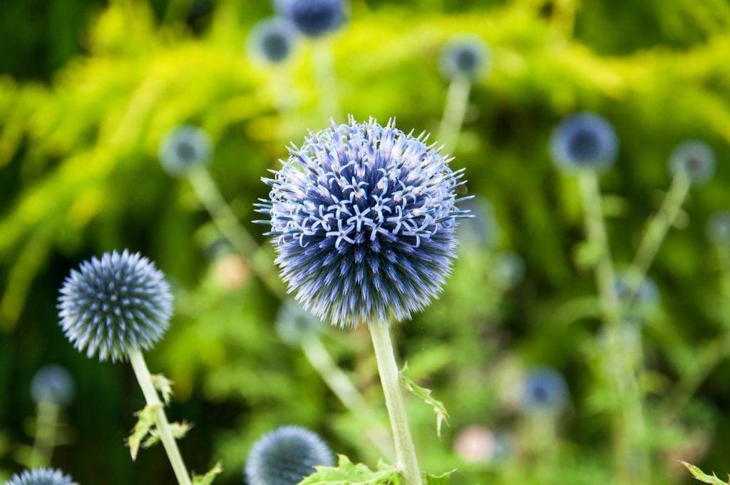 Blue globe thistle in summertime garden