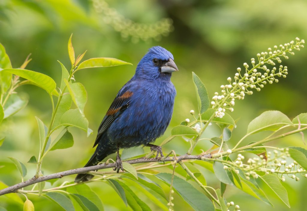Blue grosbeak perched on a branch
