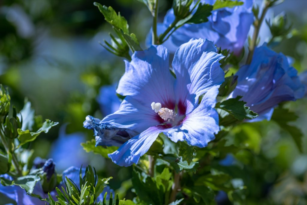 Blue hibiscus blossoms on a green bush in summer or spring