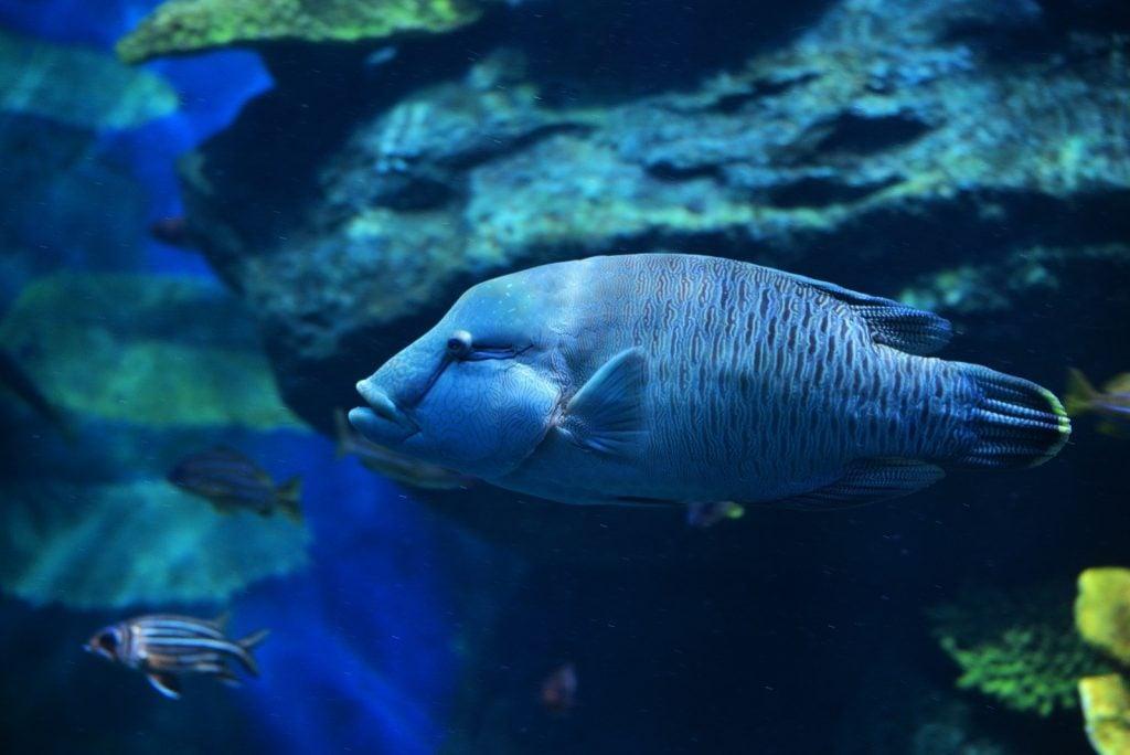 Blue Humphead Wrasse aka Cheilinus Undulatus swimming in the ocean