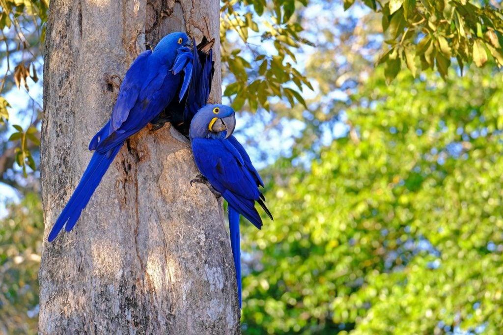 Two blue Hyacinth Macaws aka Anodorhynchus Hyacinthinus from Brazil