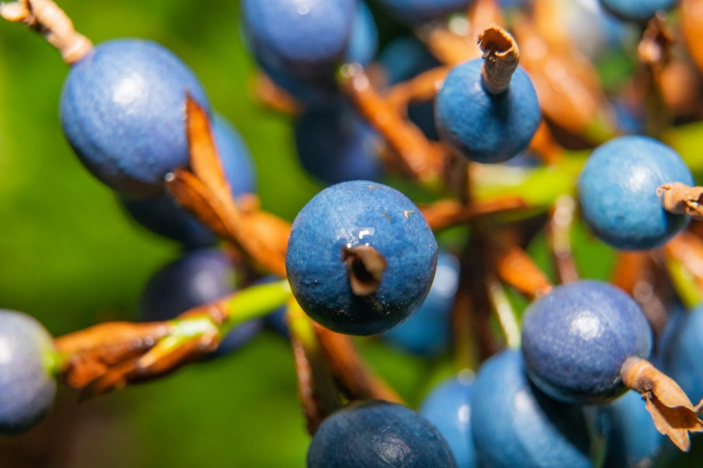 Blue Marble Tree berries on branch