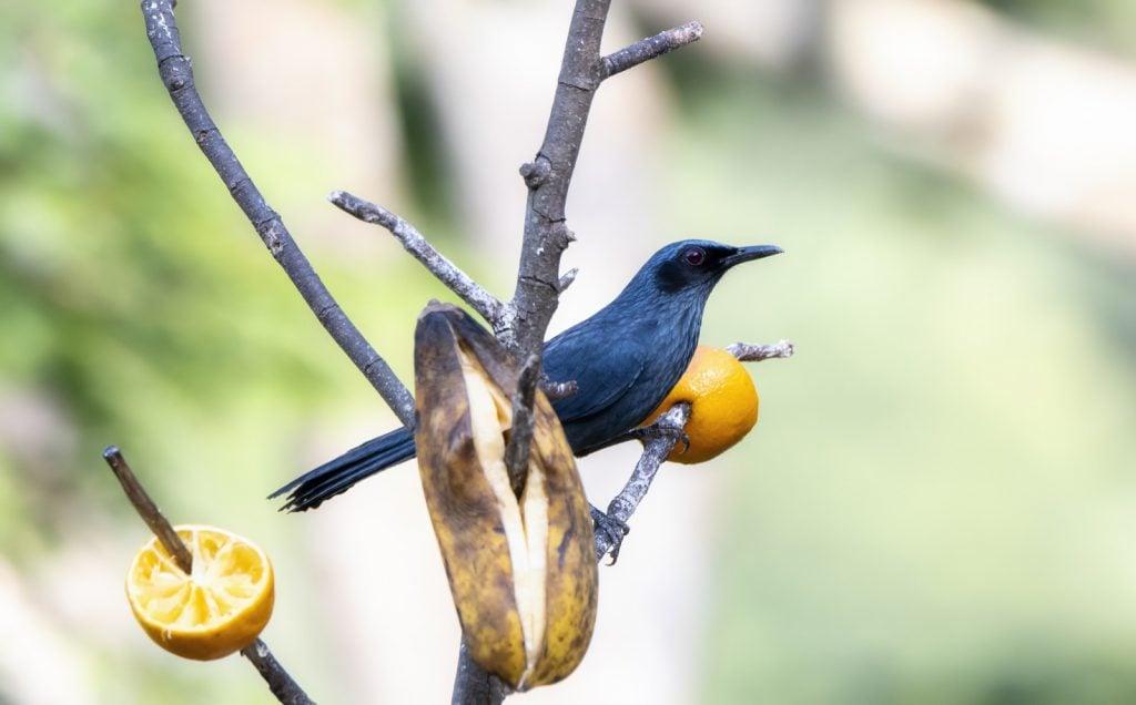 Blue mockingbird aka Melanotis Caerulescens perched at feeding station