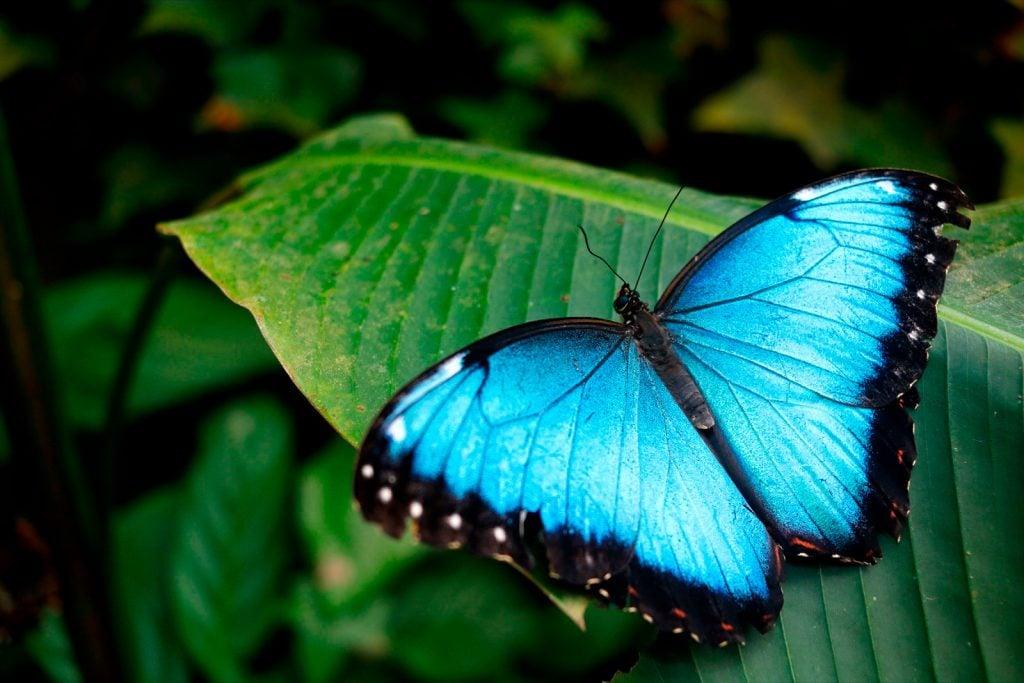 Close-up of blue morpho butterfly aka Morpho Peleides