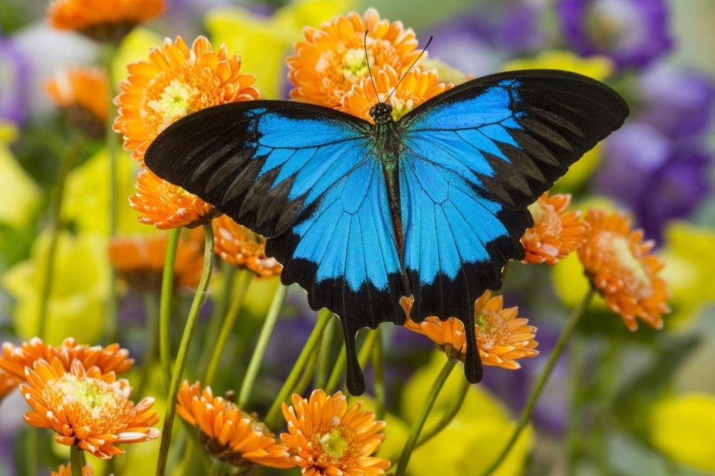 Blue mountain butterfly aka Papilio Ulysses on orange flowers