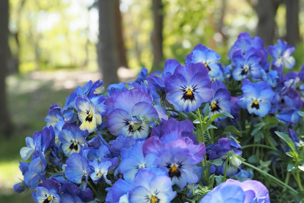 Blue and purple Pansies in flower bed